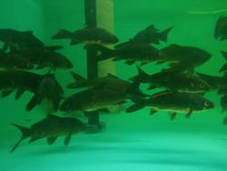 Black Koi Fish ( GC-0359 )