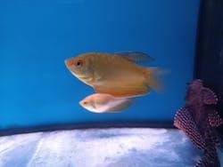 Golden Gourami ( GR-0027 )