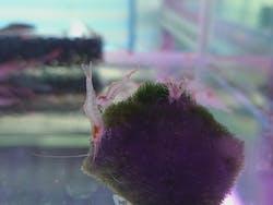 Red Nose Shrimp ( OO-2370 )