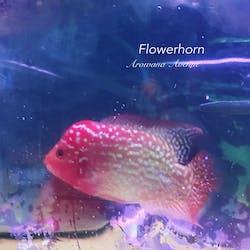 Flowerhorn