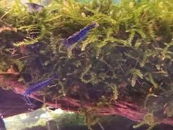 Super Blue Shrimp ( OO-5770 )