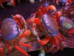 Rainbow Crab  ( SF-3403 )