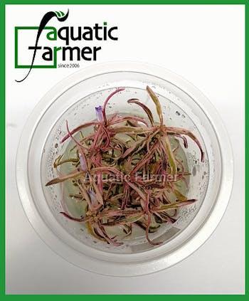 Aquatic Farmer Hygrophila sp Chai