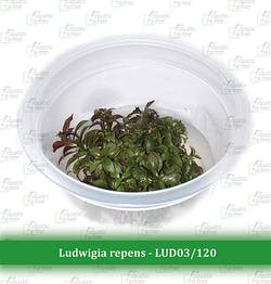 Ludwigia repens