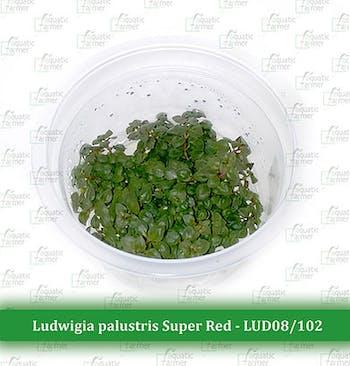 Ludwigia palustris Super Red