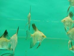 Bugarian Angelfish ( AA-0931 )