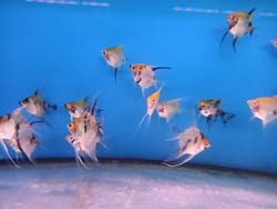 Koi Angelfish ( AA-0837 )