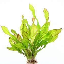 Dennerle Echinodorus Green Chamaleon in Pot