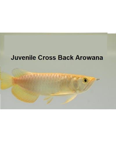 Juvenile Cross Back arowana (A grade) @ +/-12cm size