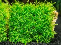 Christmas Moss on Rock