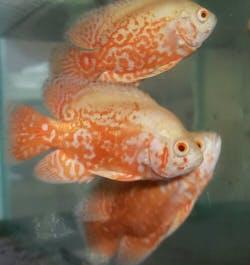 Albino Red Tiger Oscar