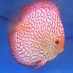 Red Map Discus