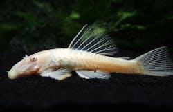 Albino Bristlenose Pleco