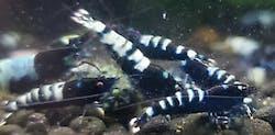 Black Pinto Shrimp (Taiwan Bee Shrimp)