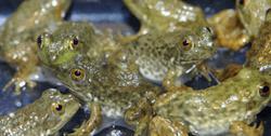 Bullfrog (feeder)