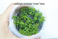 Aquatic Farmer Ludwigia Inclinata Cuba New